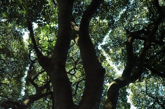 タブの木の葉は決して重なり合いません。みんな太陽に向かっていくのです。隣りの木も決して侵食しないので、こんな美しく不思議な境界線ができるのです。。